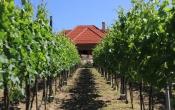 kirándulás a Monori Pincefaluba, gondozott szőlők
