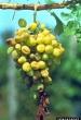 Grapevine flavescence dorée