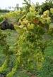 Grapevine flavescence dorée fehér szőlőnél